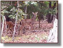 Whitetail Deer at Ozark Bluff Dwellers Cabin